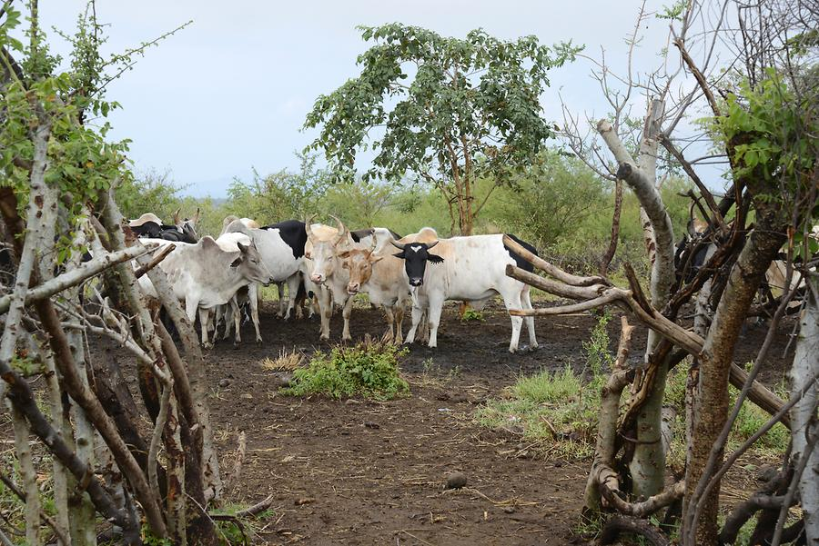 Mursi Village - Cattle