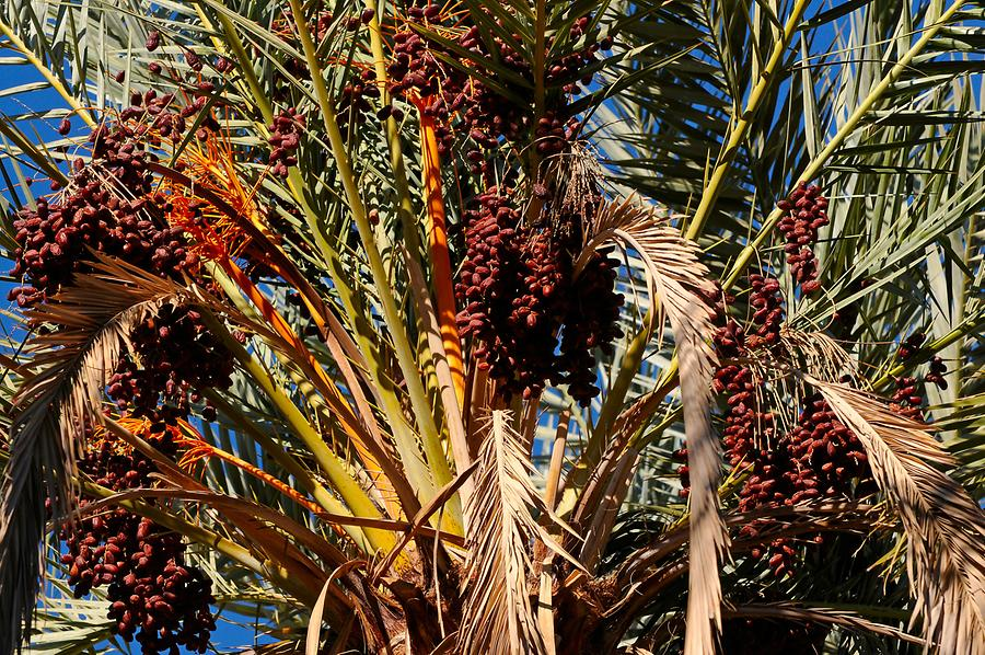 Draa - Date Palm; Dates