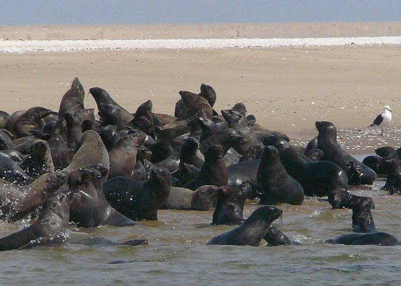 Colony of seals