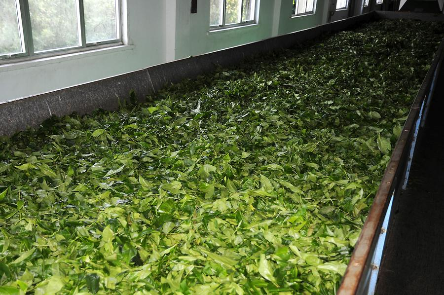 In the Tea Factory