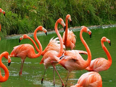 American flamingo, Foto: source: Wikicommons unter CC