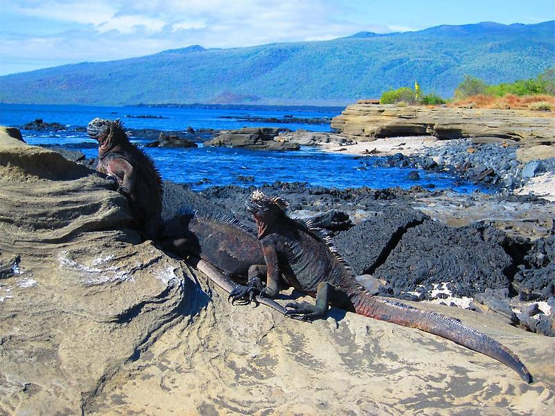 Row of Marine Iguanas