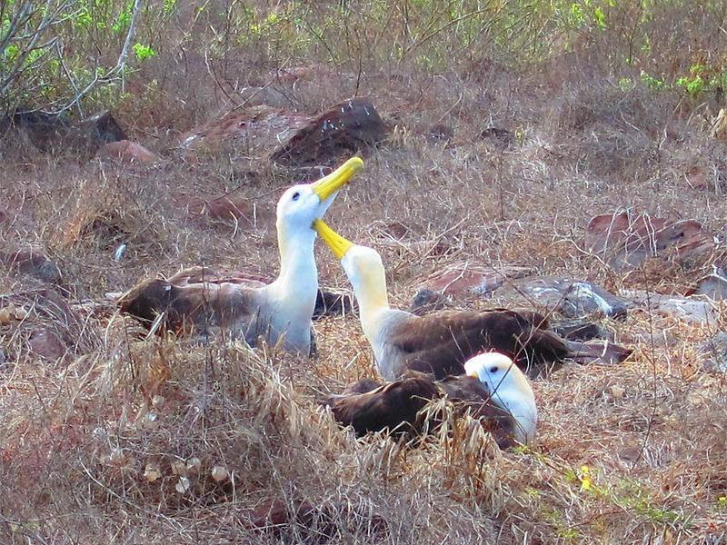Pair of Waved Albatrosses
