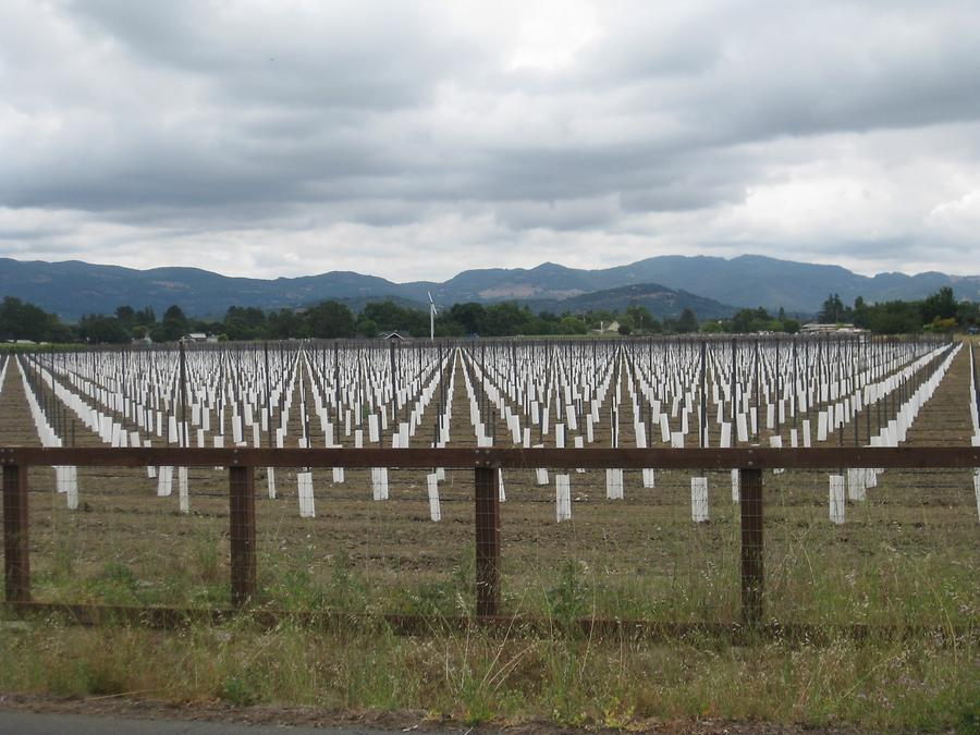 Napa Valley Young Vine Stocks