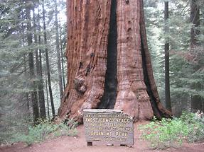 Sequoia NF Sequoia Crest Stagg Tree
