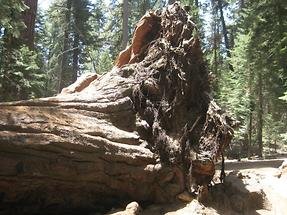 Sequoia NF Trail of 100 Giants (1)