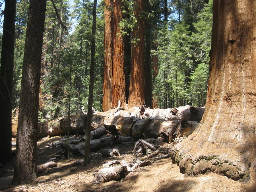 Sequoia National Forest Trail of 100 Giants