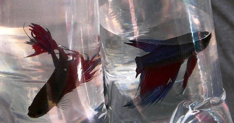 exotic fish in plastic bag
