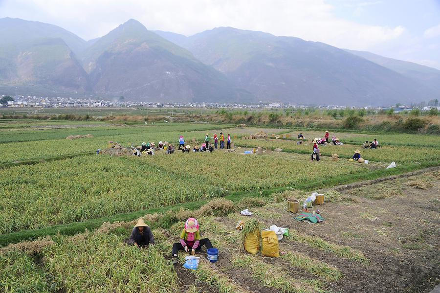 Garlic Harvest near Xizhou