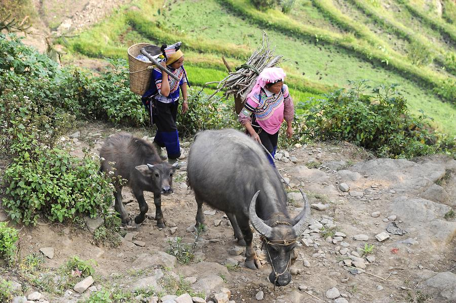 The Rice Terraces of Laohuzui - Water Buffalo