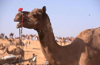 Decorated Camel (2)