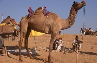 Decorated Camel (4)