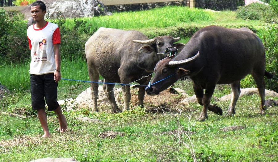 Walking Young Water Buffaloes on a Lead