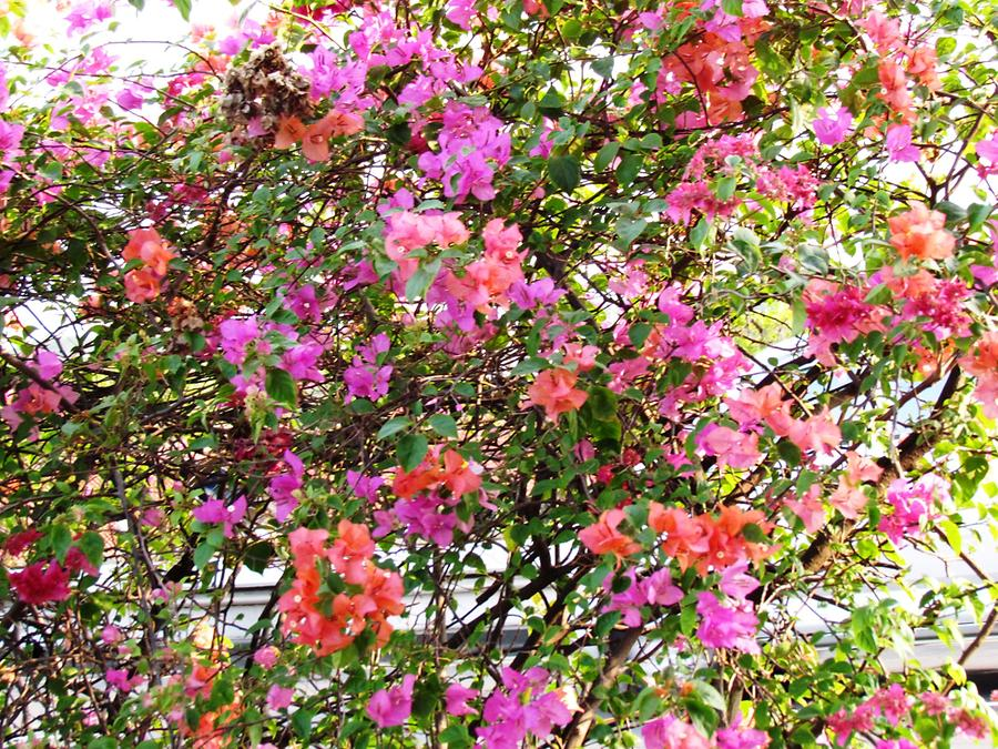 Multicoloured Bougainvillea