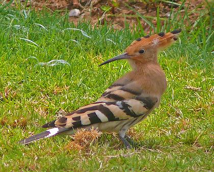Hoopoe, Foto: source: Wikicommons unter CC