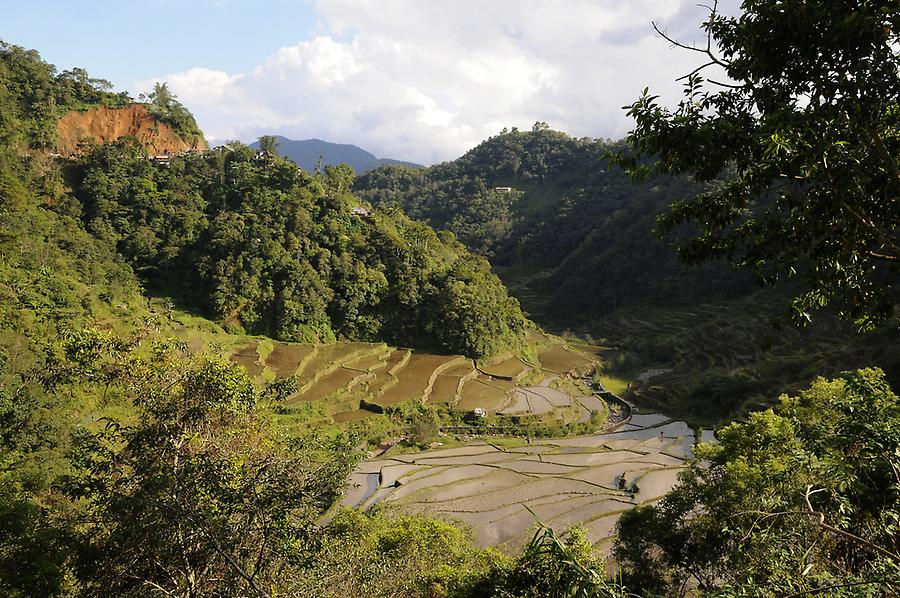 Terraces for growing rice in Banaue