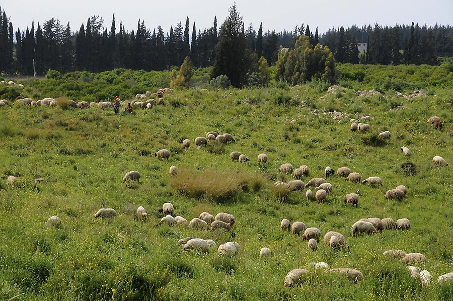 Sheep in Ugarit