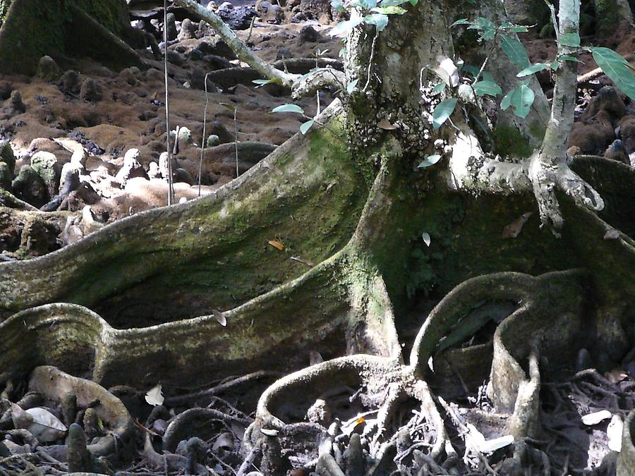 Daintree rain forest roots, Photo: H. Maurer, 2007