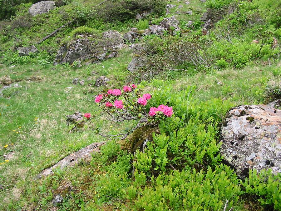 Alpine Rododenron in June, Styria