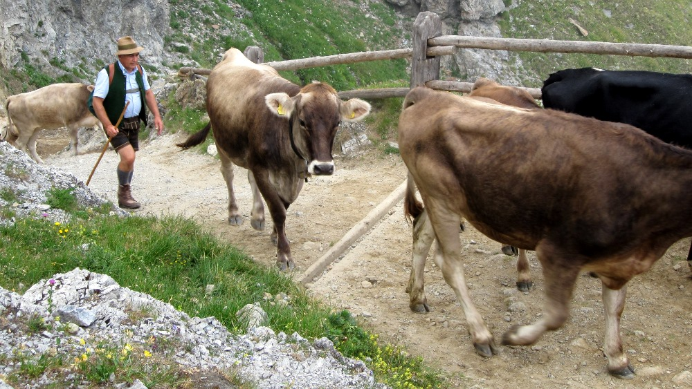 Cattle Crive and Austrian Farmer