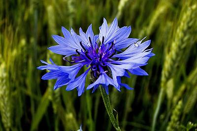 Corn Flower, Foto source: PixaBay