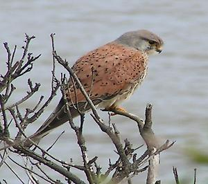 Common kestrel, Foto: source: Wikicommons unter CC