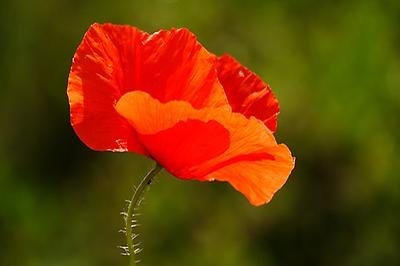Red Poppy, Foto source: PixaBay