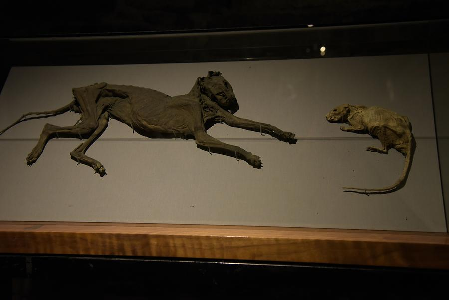 Christ Church Cathedral - Crypt; Mummified Cat and Rat