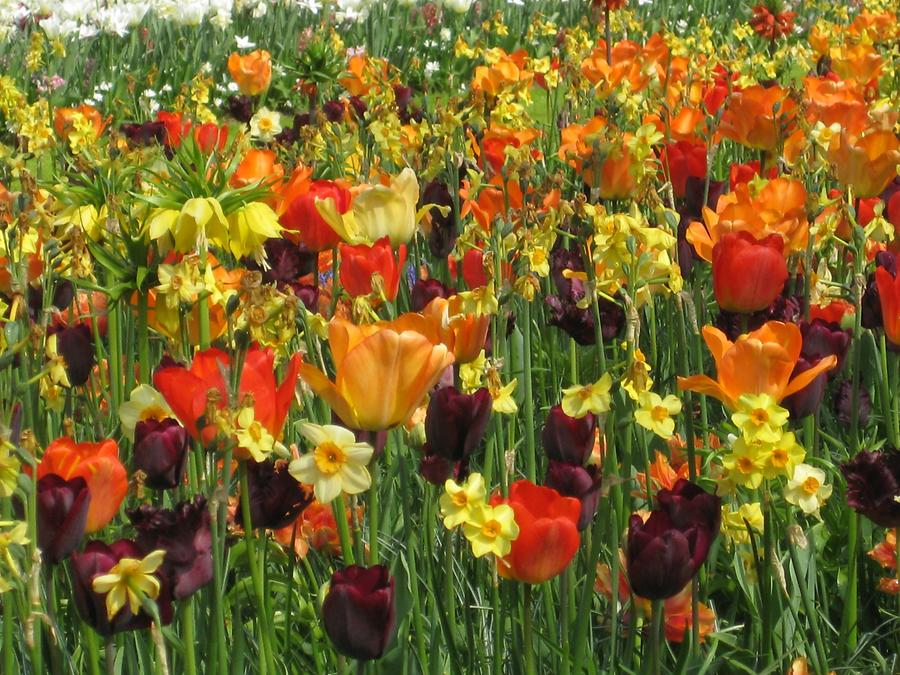 tulips in orange, yellow and red