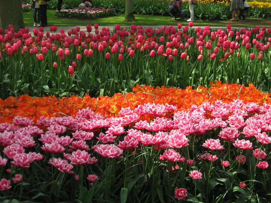 Keukenhof, tulips in red