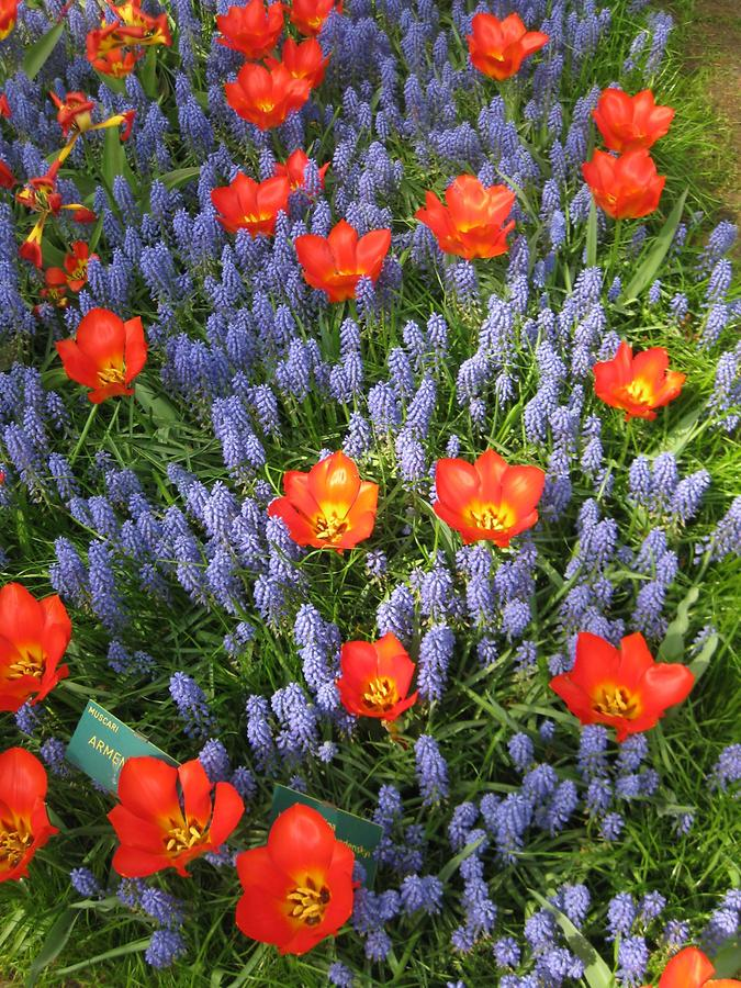 Keukenhof, grape hyacinths with tulips