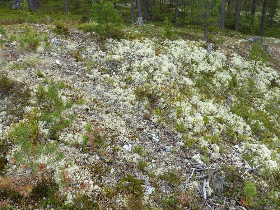 Gudbrands Valley - Reindeer Lichen
