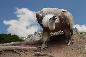 Griffon Vulture, Foto source: PixaBay