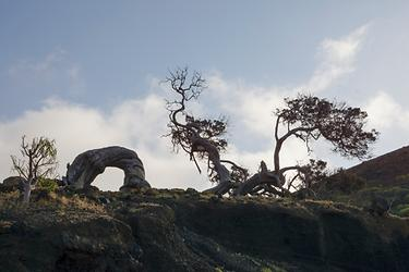 windswept juniper tree