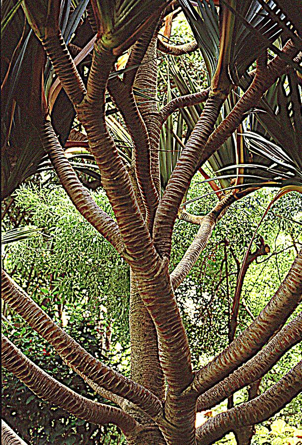 Pandanus utilis- Common Screwpipe
