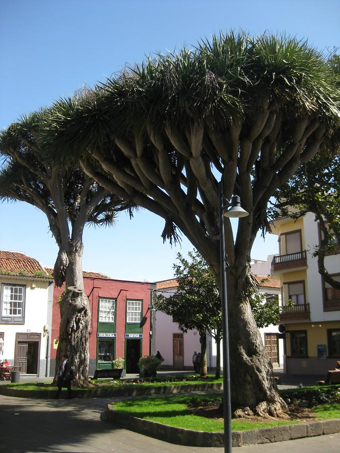 La Laguna - Plaza de la Conception - Drago