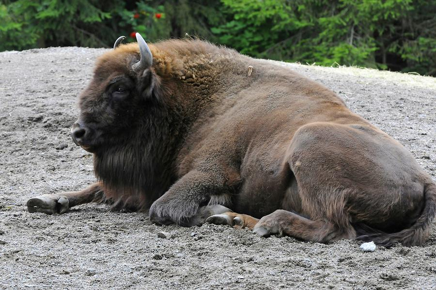 Skansen - European Bison