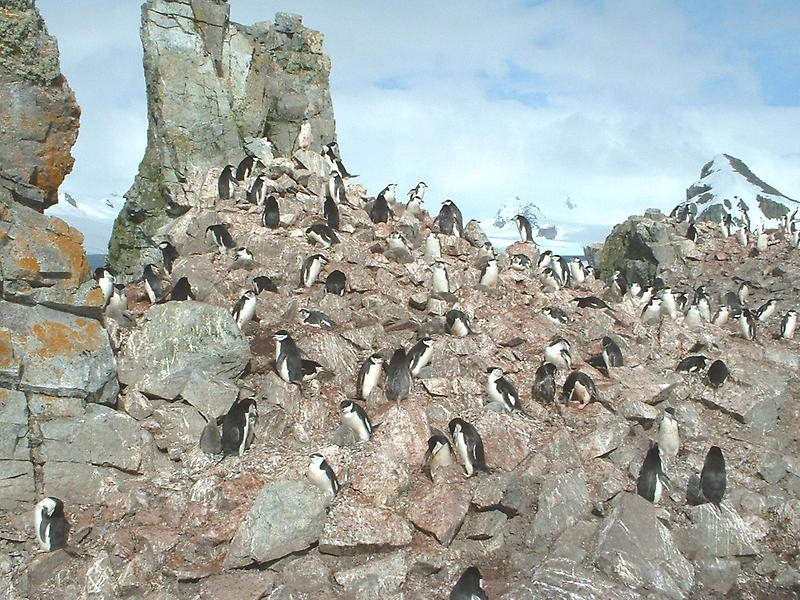 Chinstrap penguin rookery
