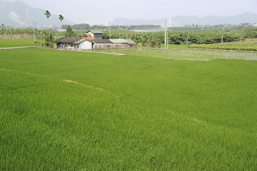 Paddy Fields near Hsitou