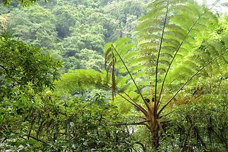 Tree Ferns Yangmingshan (1)