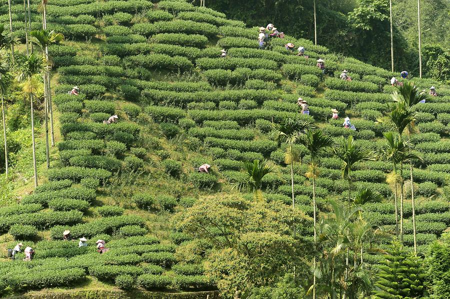 Tea Plantation Alishan