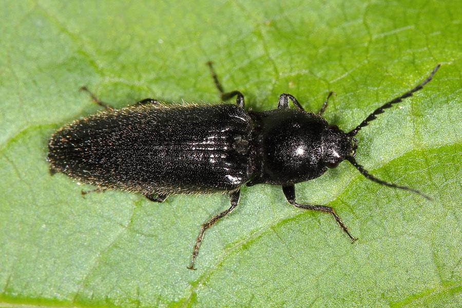 hemicrepidius niger schwarzer rauhaarschnellk fer k fer. Black Bedroom Furniture Sets. Home Design Ideas