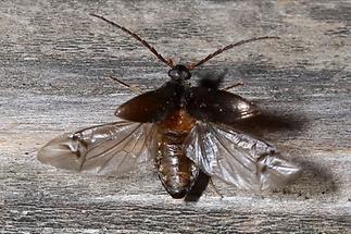 78 alleculidae pflanzenk fer coleoptera k fer natur im austria forum. Black Bedroom Furniture Sets. Home Design Ideas
