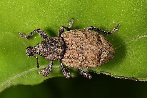 94 curculionidae r sselk fer coleoptera k fer natur im austria forum. Black Bedroom Furniture Sets. Home Design Ideas