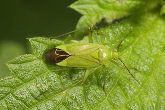 Calocoris affinis - Grüne Distelwanze (1)