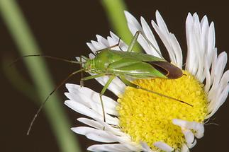 Calocoris affinis - Grüne Distelwanze (2)
