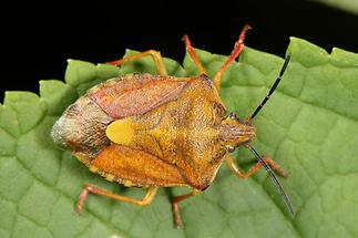 Carpocoris purpureipennis - Purpur-Fruchtwanze, Wanze auf Blatt