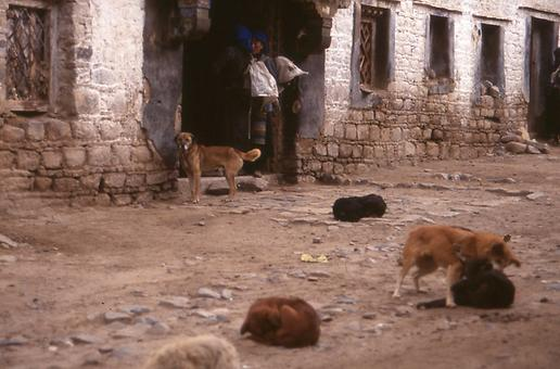 Dogs in Buddhist Lama Monasteries