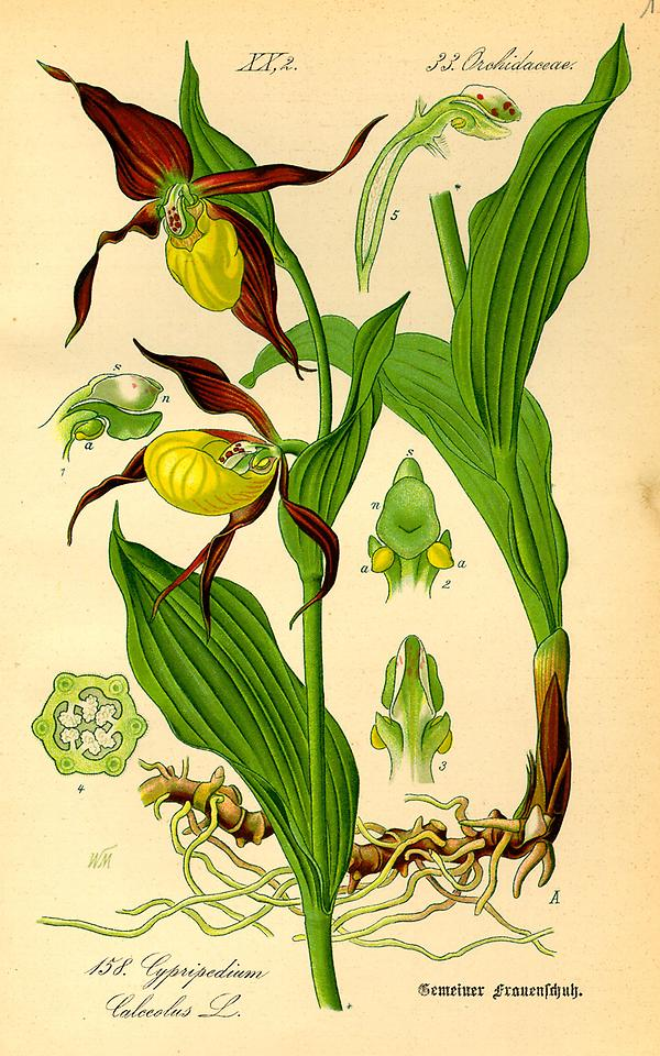 tafel_160_cypripedium calceolus.jpg