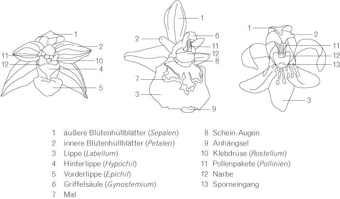 Allgemeines zu Orchideen von Norbert Novak | Orchideengewächse ...